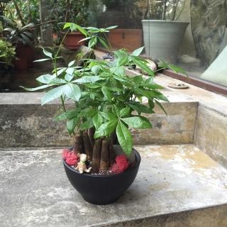 【Santa Ana】10吋盆植物盆栽組合(桌上型馬拉巴栗)