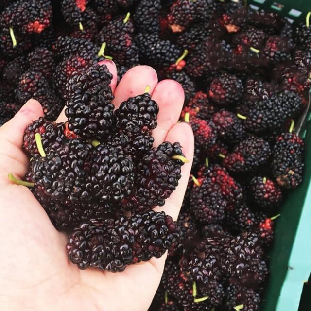 【老農手摘】天然野生桑葚果-產地直銷(500公克x9包)