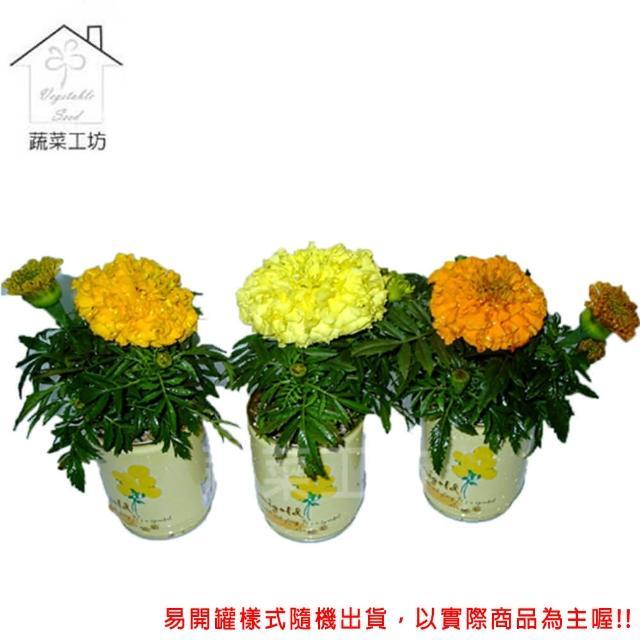 【蔬菜工坊004-E09】iPlant易開罐花卉-萬壽菊(小雛菊)