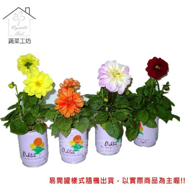 【蔬菜工坊004-E19】iPlant易開罐花卉-大理花