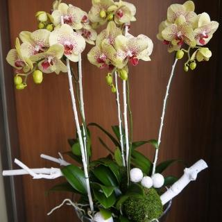 【Santa Ana】玻璃盆蘭花組合(蝴蝶蘭與植栽的組合)
