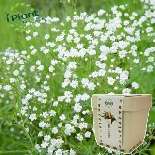 【iPlant】積木小農場-滿天星(開心農場療鬱小物)